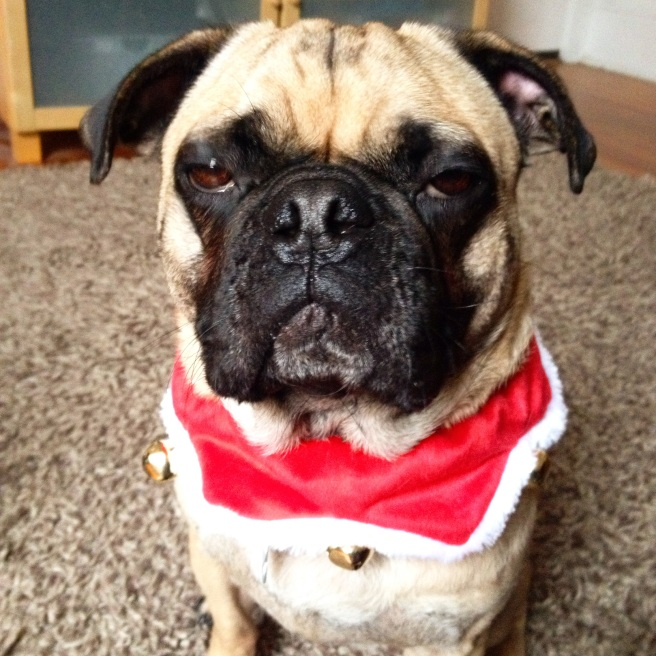 Your pug of the day. Rupert is clearly feeling the holiday cheer.