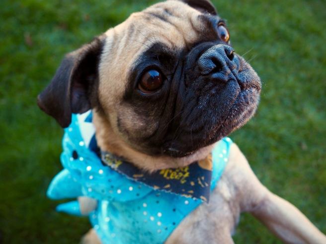 Rupert the pug