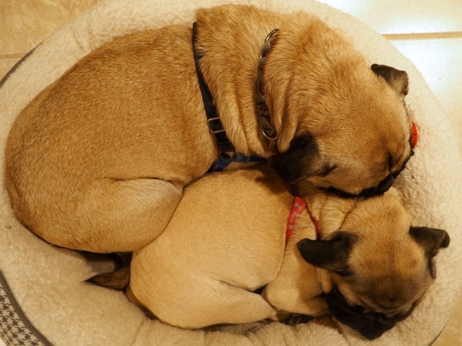 Snuggle Pugs //January Blues: How To Survive Winter in Chicago // List Maker Picture Taker